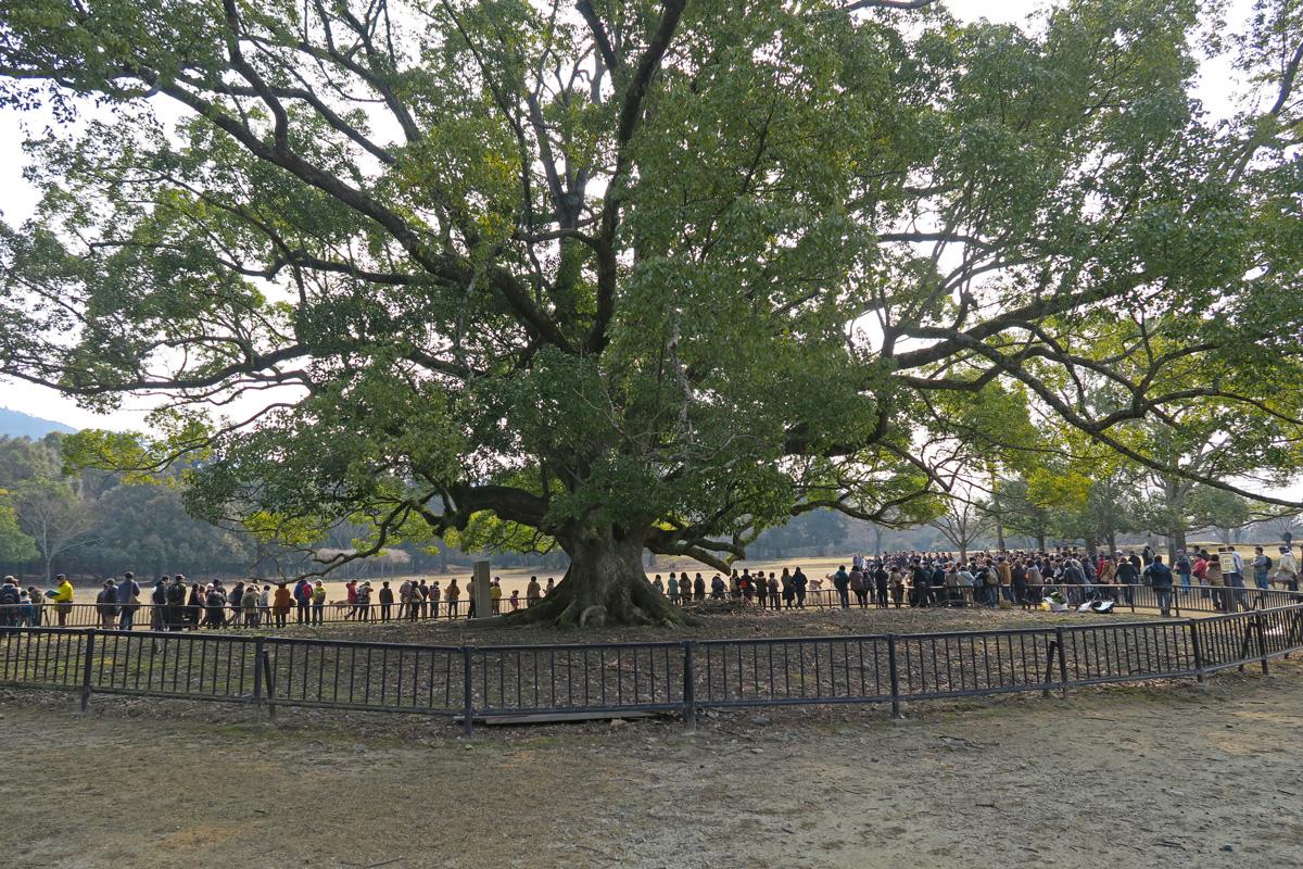 鹿寄せの行われる場所は、大きな木(クスの木)が目印です。