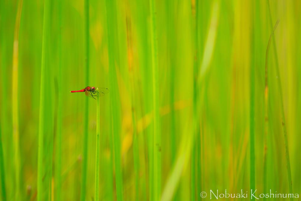 「ぼうけんの森」の手前にある湿地帯にいるハッチョウトンボ。10円玉位のほんとに小さなトンボです!