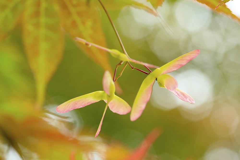 モミジの種です。やわらかい綺麗な色ですね。