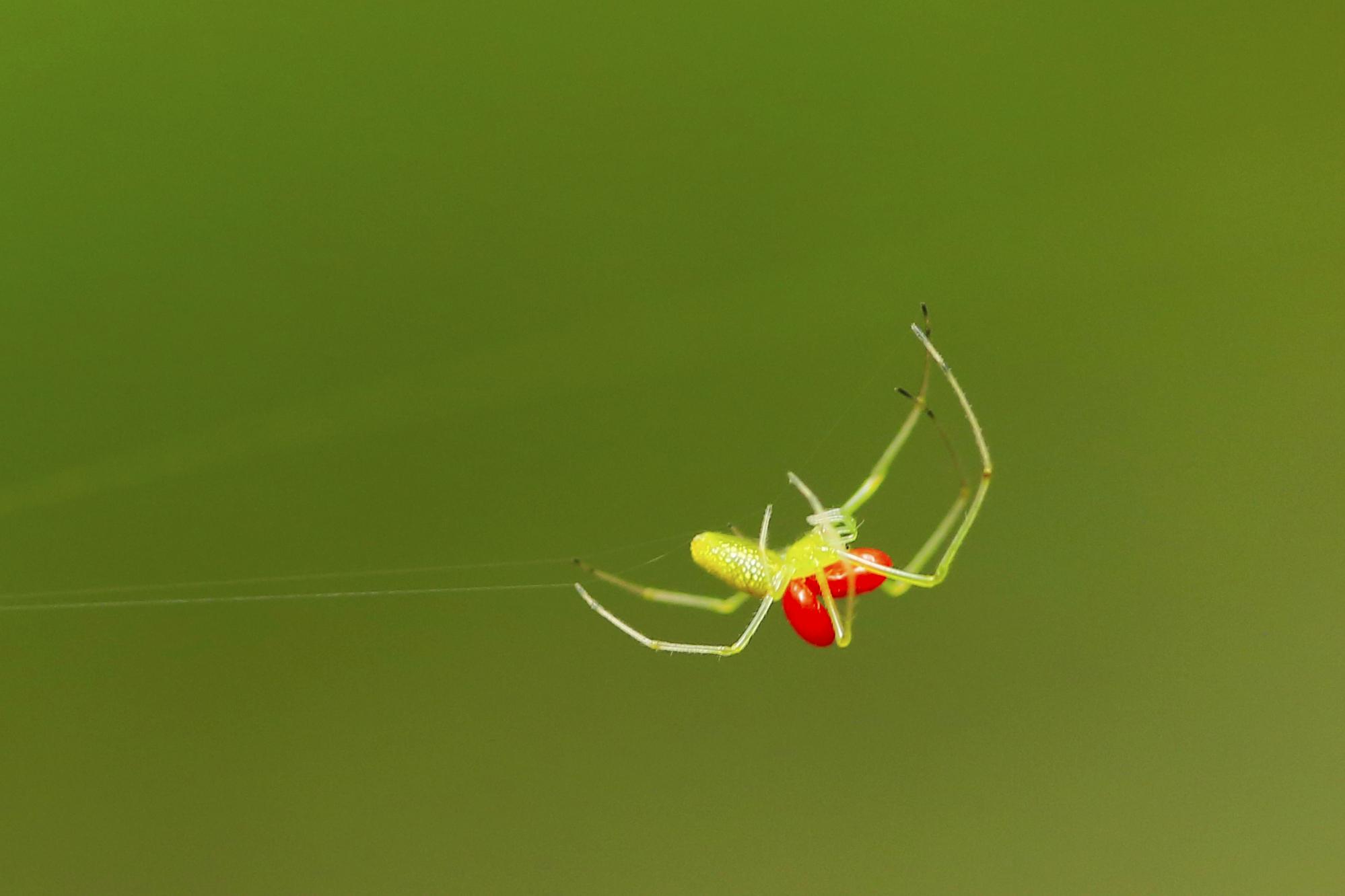 クモの背中に卵のような赤いものが2つありますが、これは昆虫やクモなどに寄生するタカラダニです。