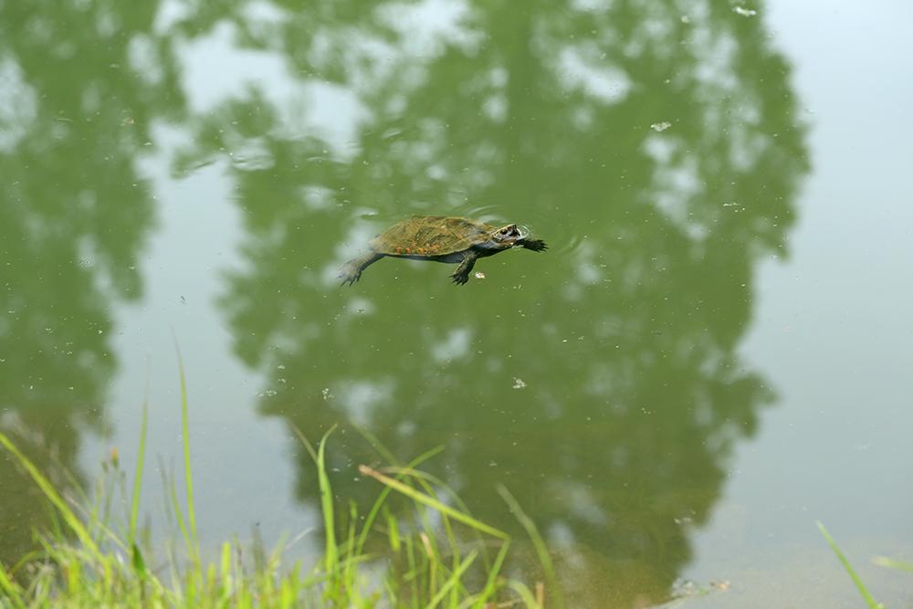 ぽてぽてゴルフ手前の池では、のんびりとカメも泳いでいました。