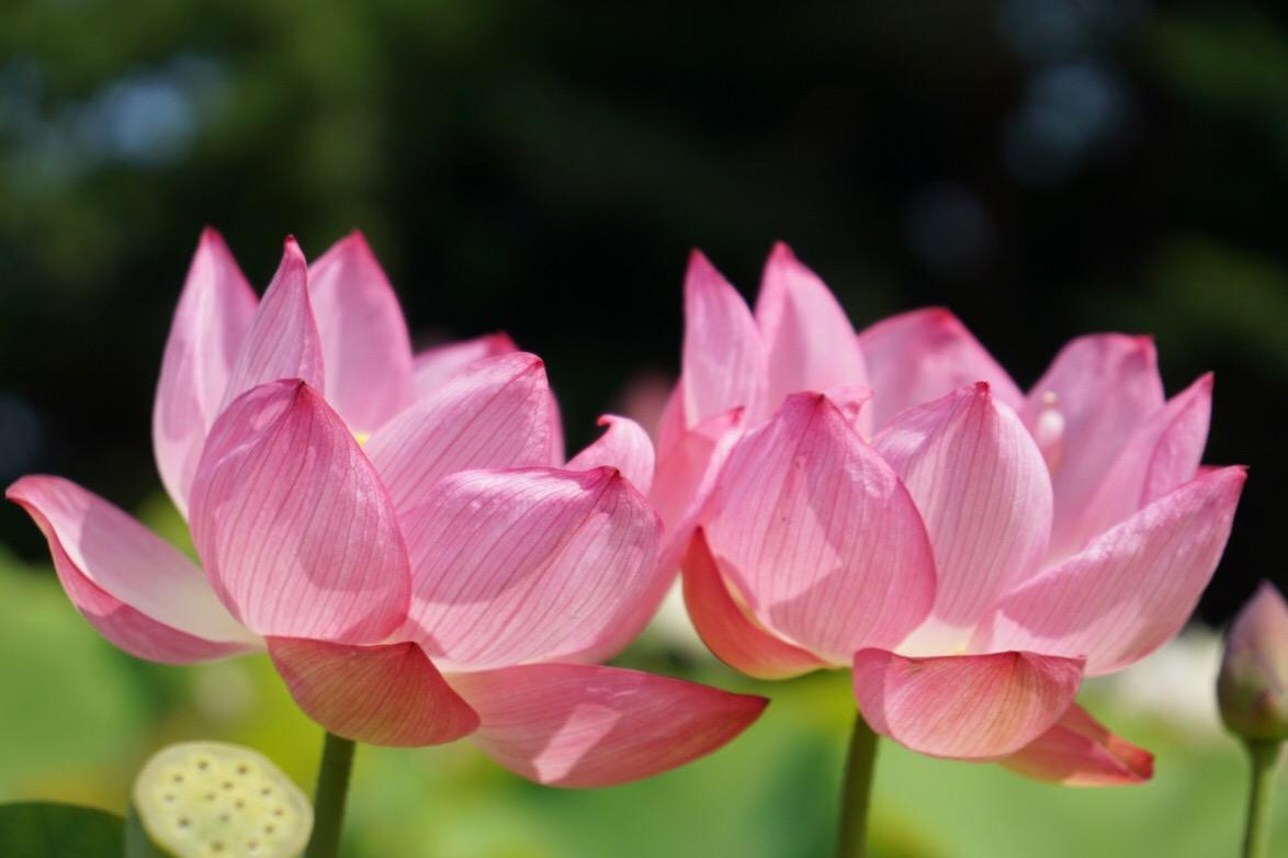 並んで咲いているところは絵になります。