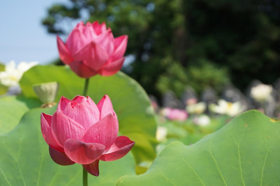 泥が濃ければ濃いほど大きく美しい花が咲くそうです。