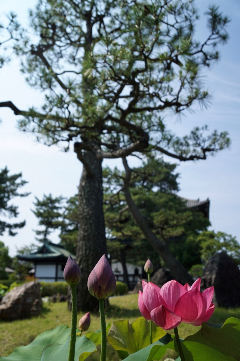 お寺には大きい松の木がありますね。歴史を感じます。