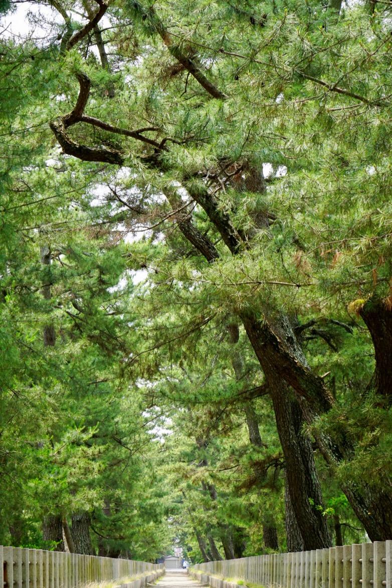 門前の松並木。大きくてとても立派です。西から東に流れています。