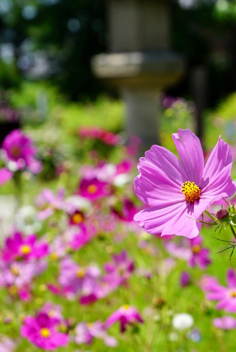 沢山咲いていて見事です。