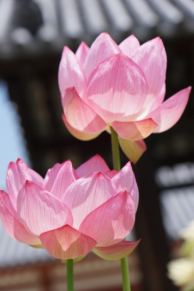 伽藍に蓮の花はよく映えます。蓮の花は仏様の台座に使われることが多いですね。