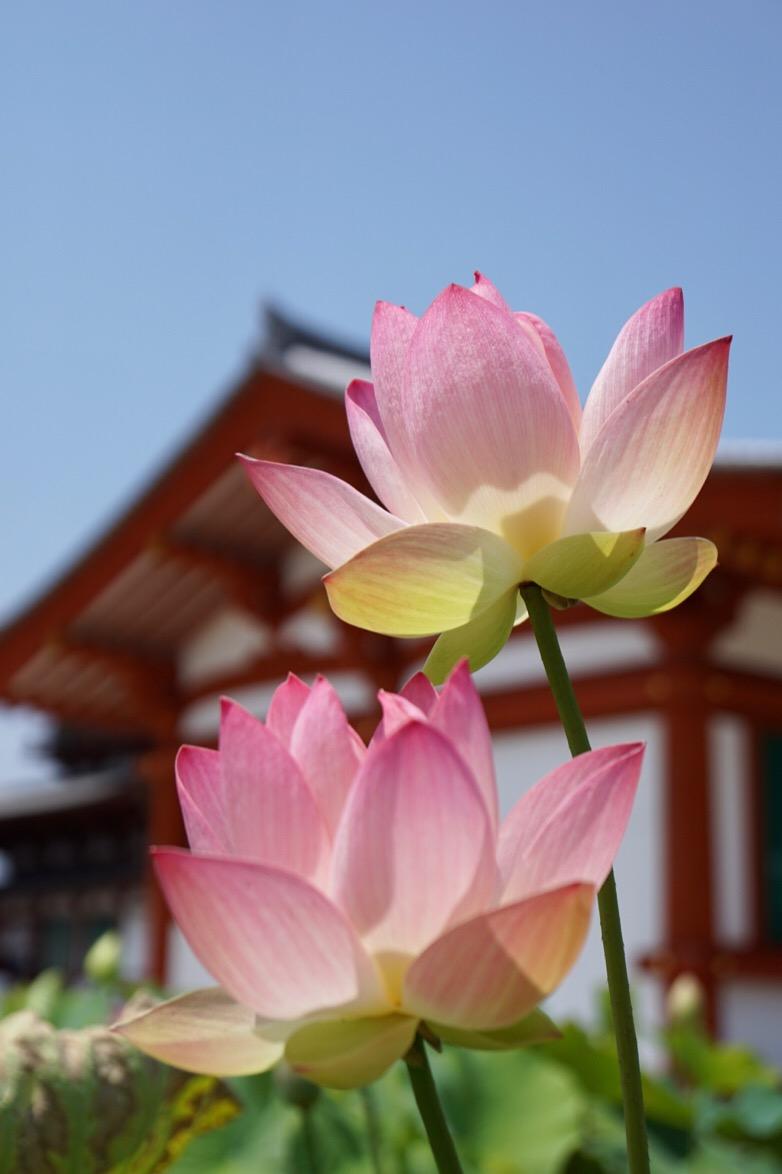 蓮の花が見頃を迎えています。