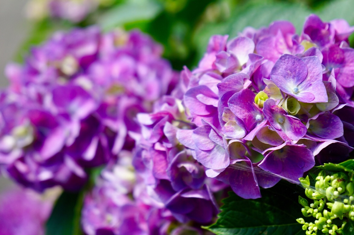 明るくはっきりした色合いの紫陽花は映えますね。