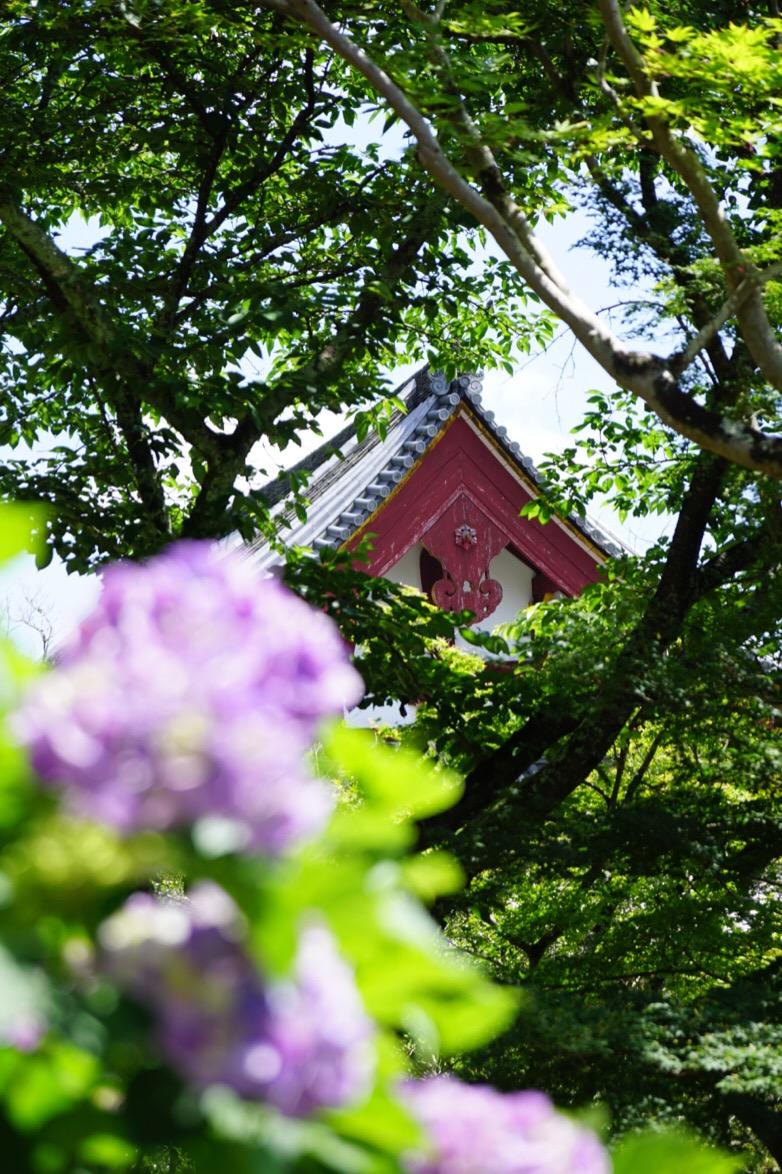 本堂と紫陽花。