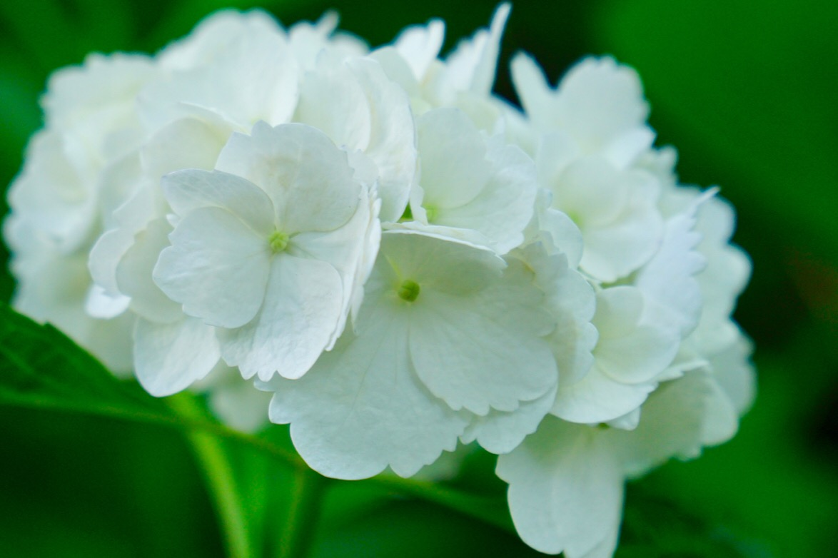 白い紫陽花は可憐ですね。