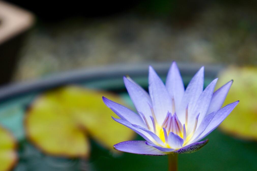 珍しい水色の睡蓮です。