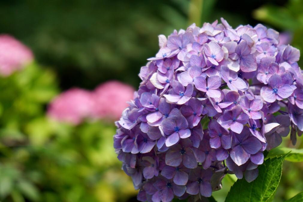 紫陽花も咲いていました。