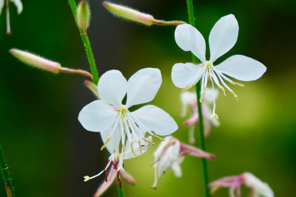可憐な花ですね。華樂園には珍しい花々がたくさん植えられています。