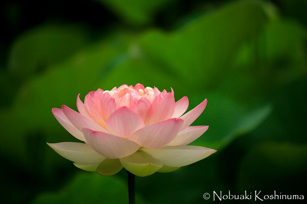 中国の成句に「蓮は泥より出でて泥に染まらず」と表現されています。美しいですね。