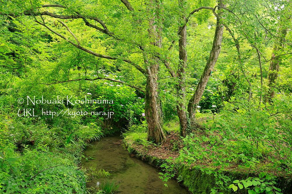 小川周辺にはあじさい(紫陽花、アジサイ)が咲いていました。