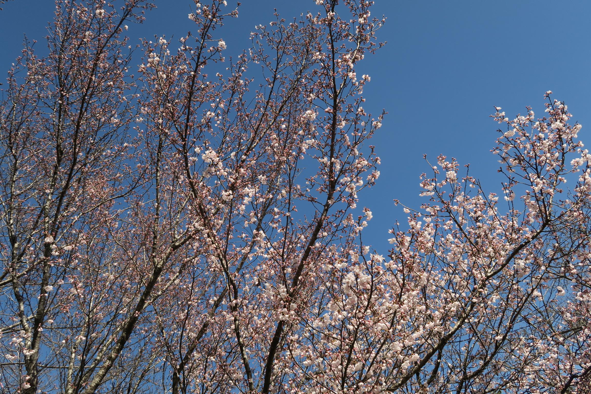 桜もちらほらと咲き始めています!楽しみですね。