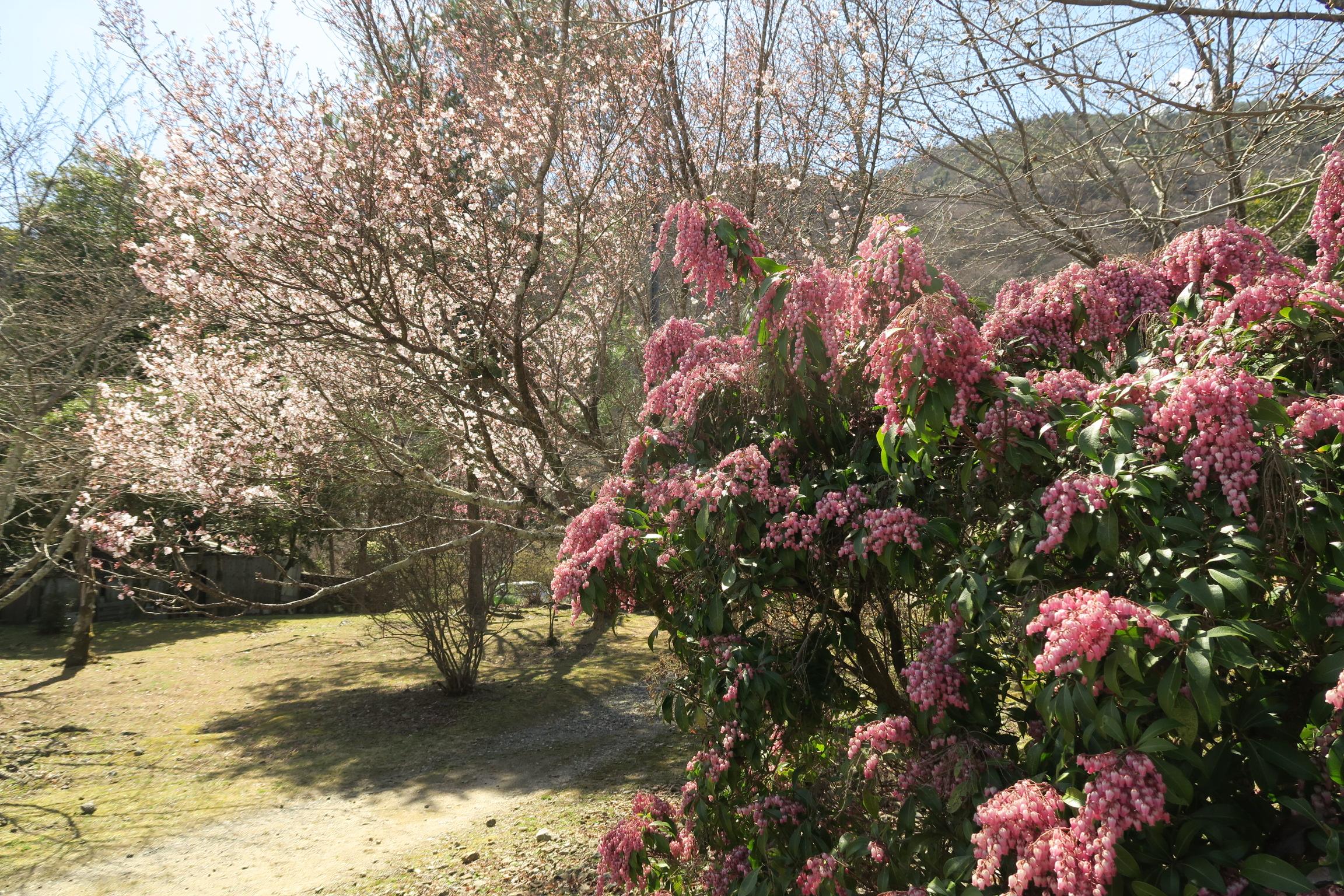 アセビの花と桜です。