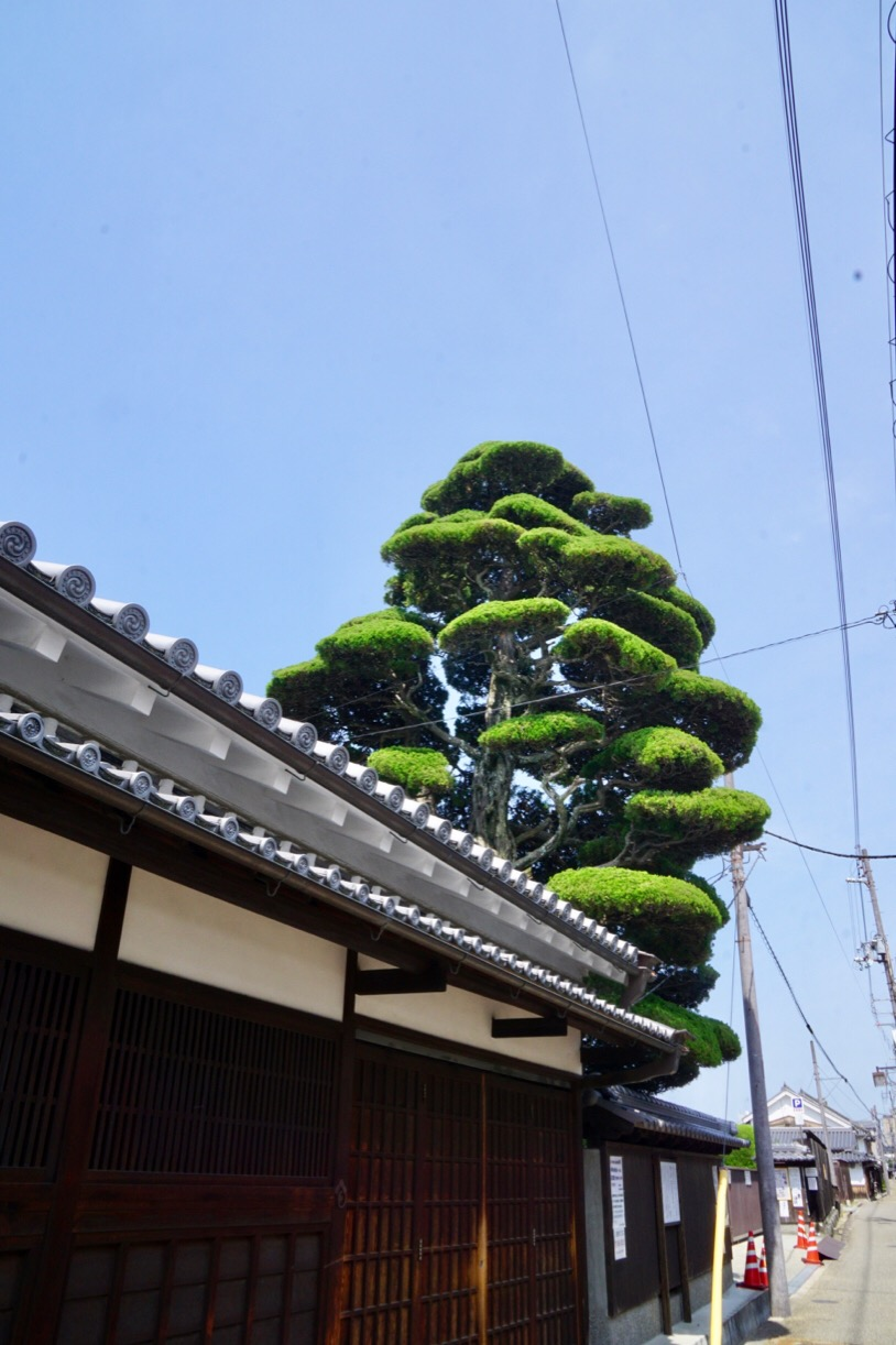 豊田家資料館。すごく大きな木で遠くからでもすぐわかります。時代劇みたいな木です。