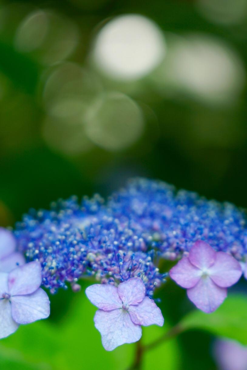早めの紫陽花も。
