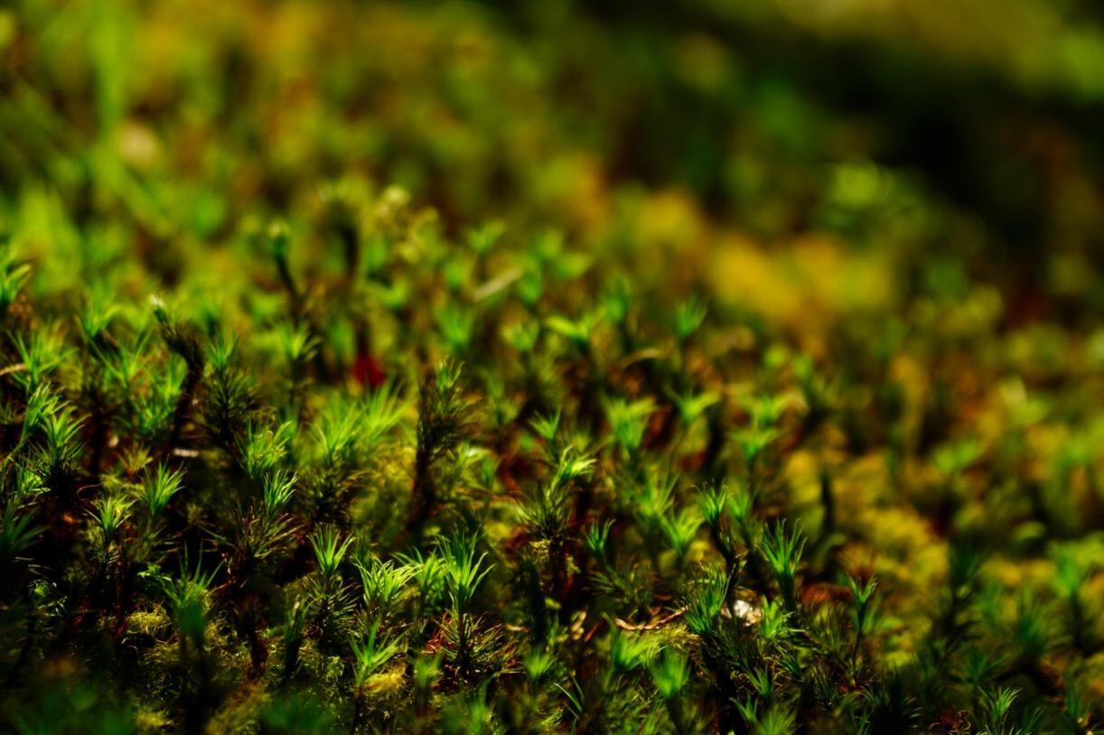 苔の庭。全面が杉苔に覆われています。