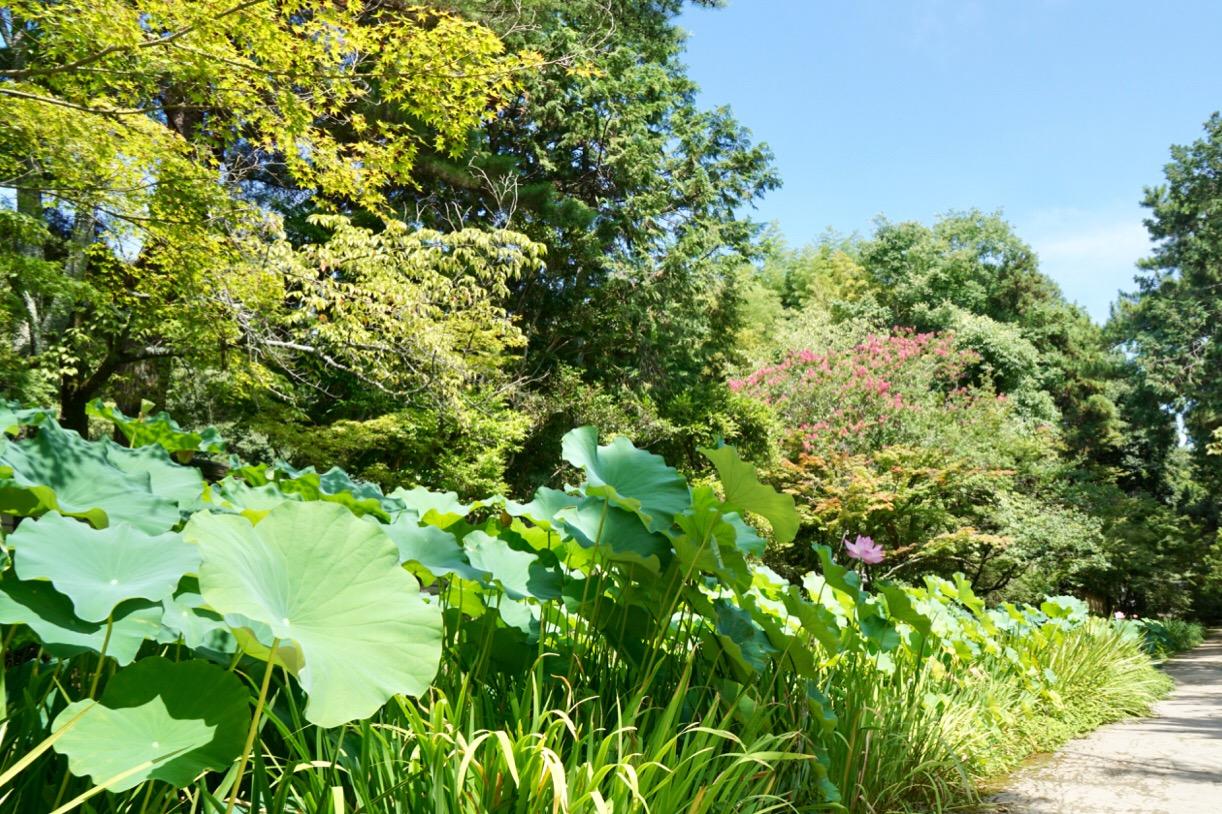蓮が池に植わっています。鉢植えと違って豪快です。