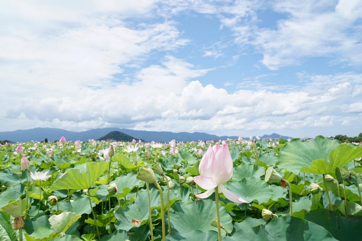 藤原京跡の蓮池。一面の蓮の花が見事です。