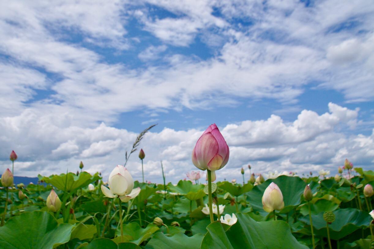 青空に蓮の花が映えます。