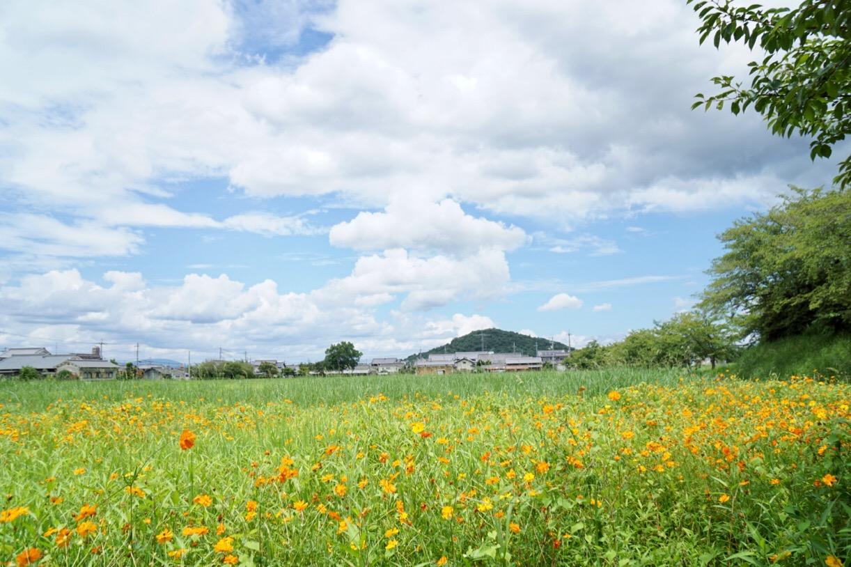 黄花コスモス。後ろの山は耳成山です。