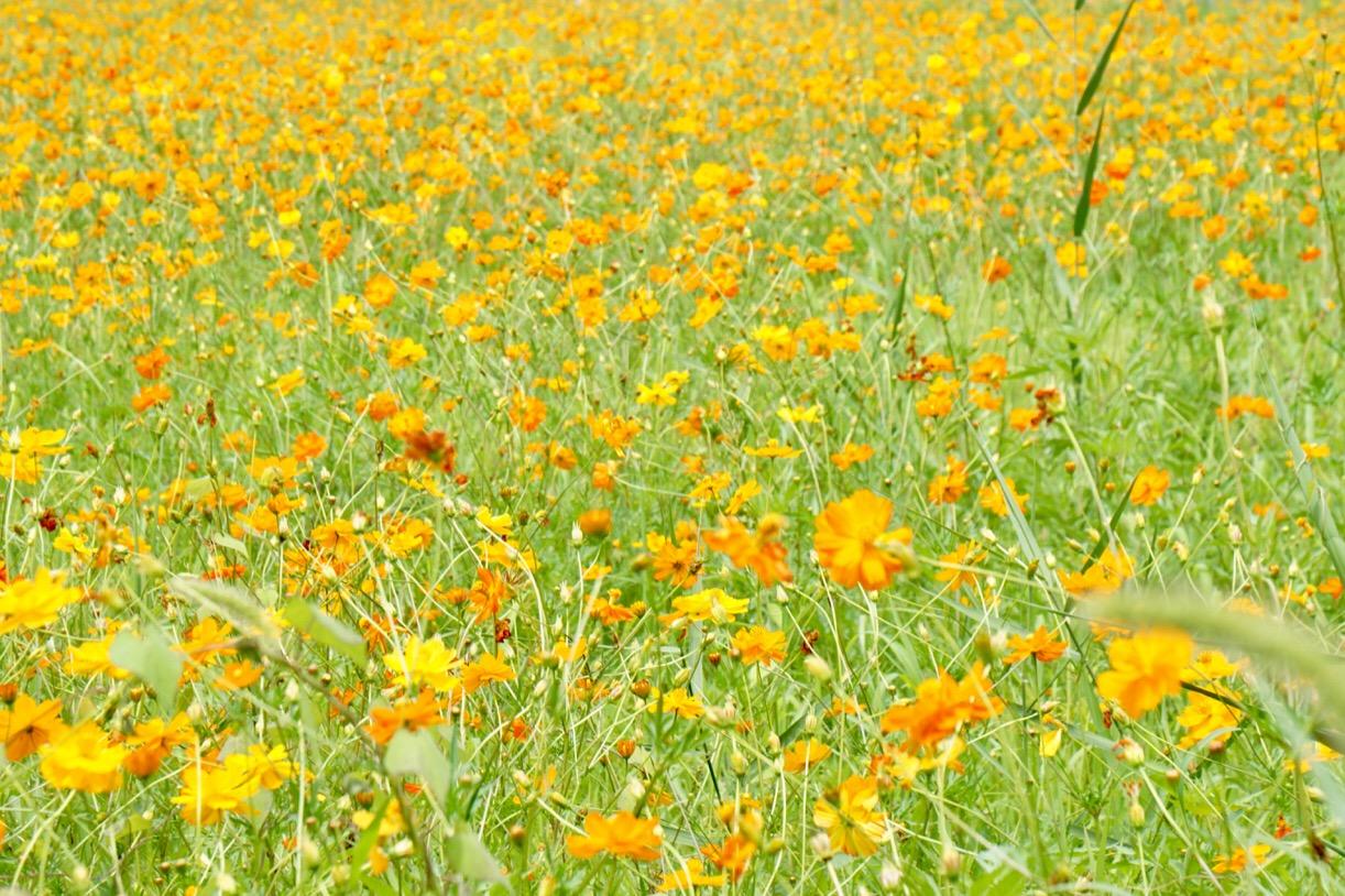 メキシコ原産ということで、猛暑でも元気に咲いていました。
