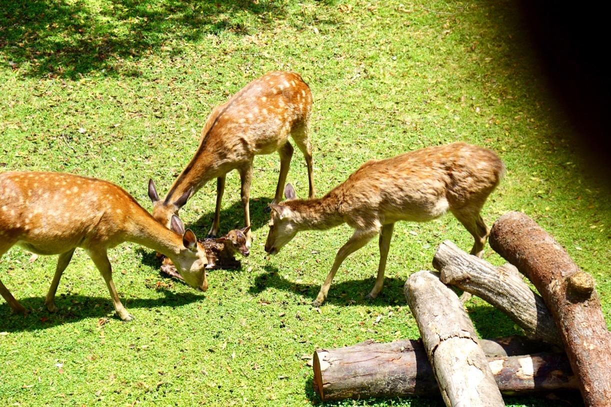 他の鹿のお母さんもペロペロ舐めてあげています。