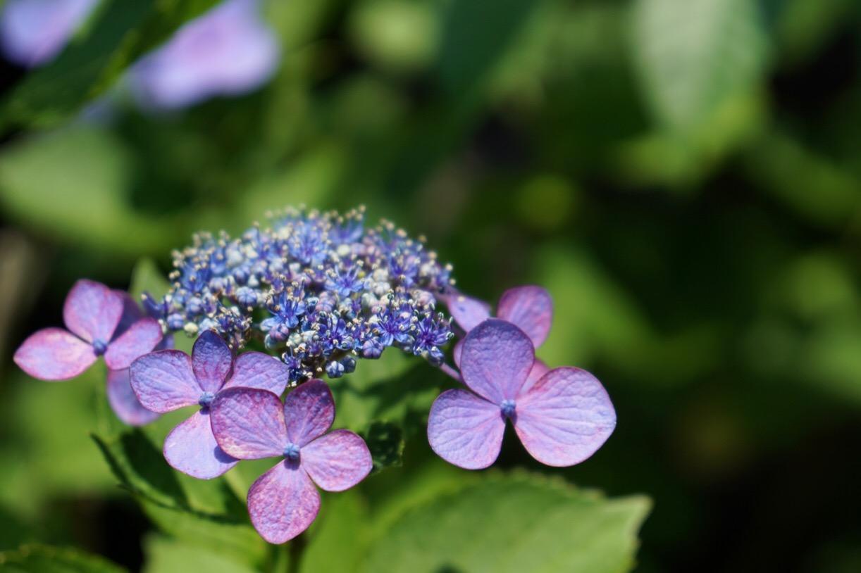 紫陽花が見頃を迎えていました。