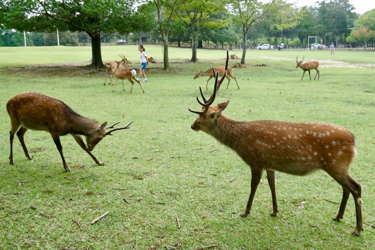 この二頭は終始牽制しあっています。最後は左の鹿が去って行きました。