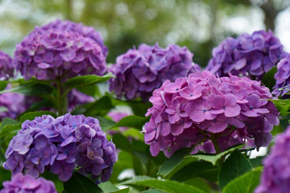 ちょうど紫陽花が咲いていました。