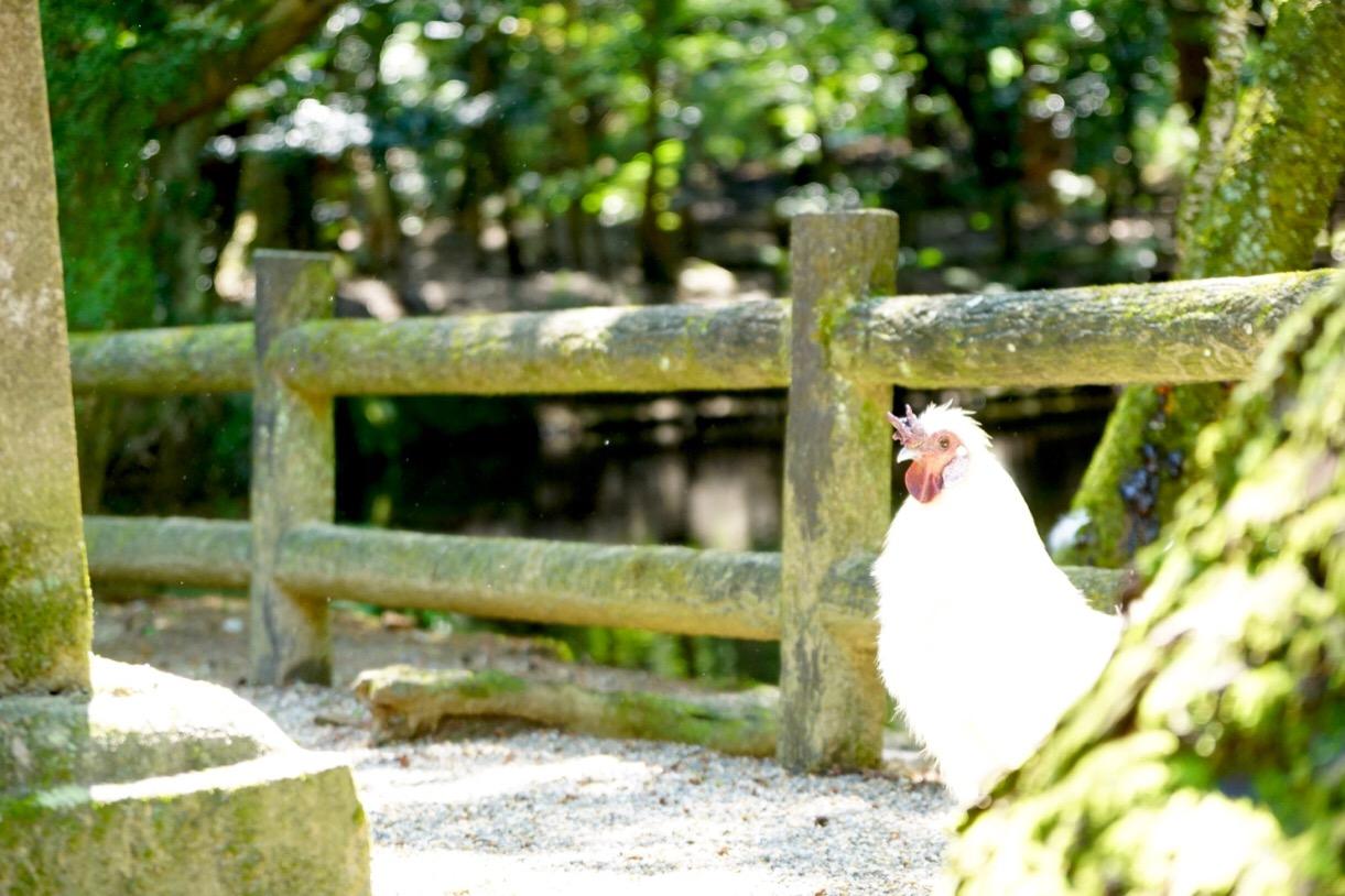 境内には鶏がたくさんいます。神話の昔から新道と大変関係の深い吉祥の霊鳥とされています。