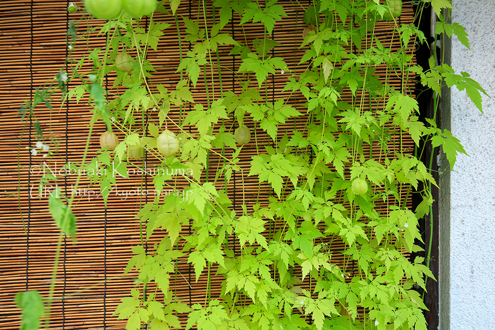 壁面緑化としてフウセンカズラが使われていました。涼しげでいい感じですね。