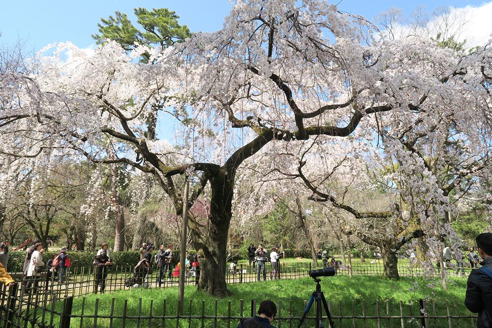 旧近衛邸のしだれ桜。満開と言ってもいいかな?沢山の人が訪れていました。