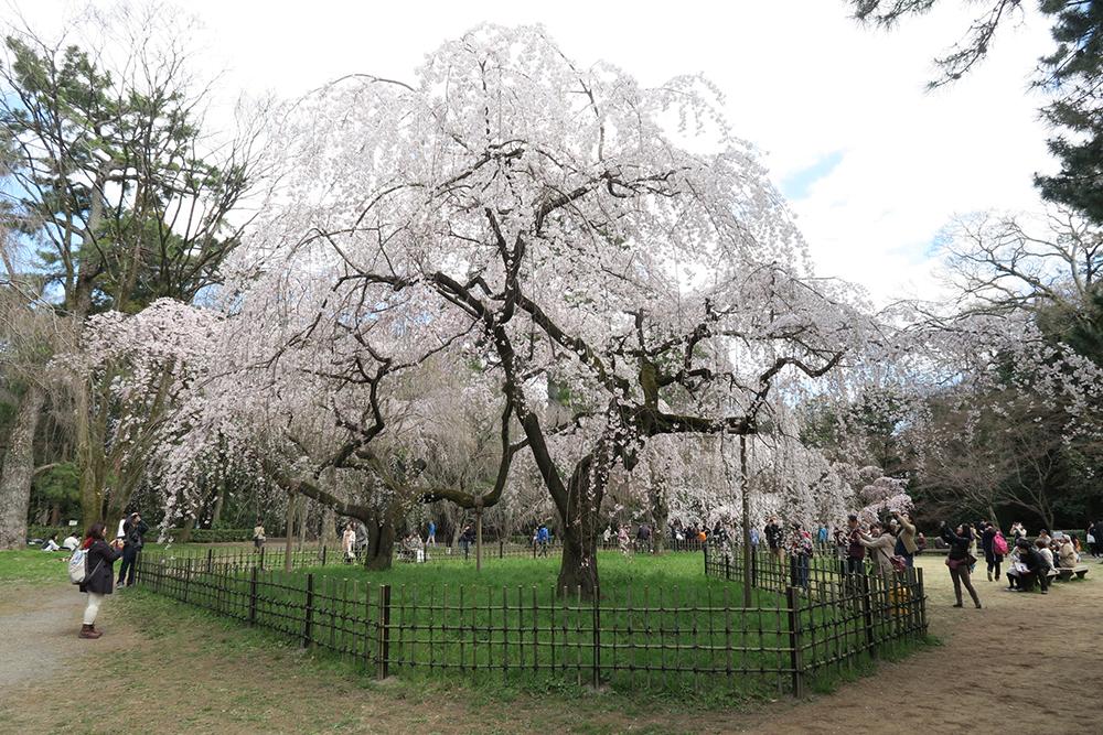 旧近衛邸のしだれ桜。