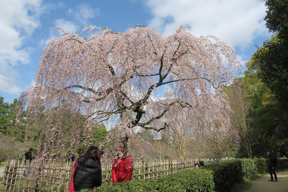 出水の小川近くのしだれ桜もほぼ満開。外国人観光客も多いですね。手前のお二人はフランスから。