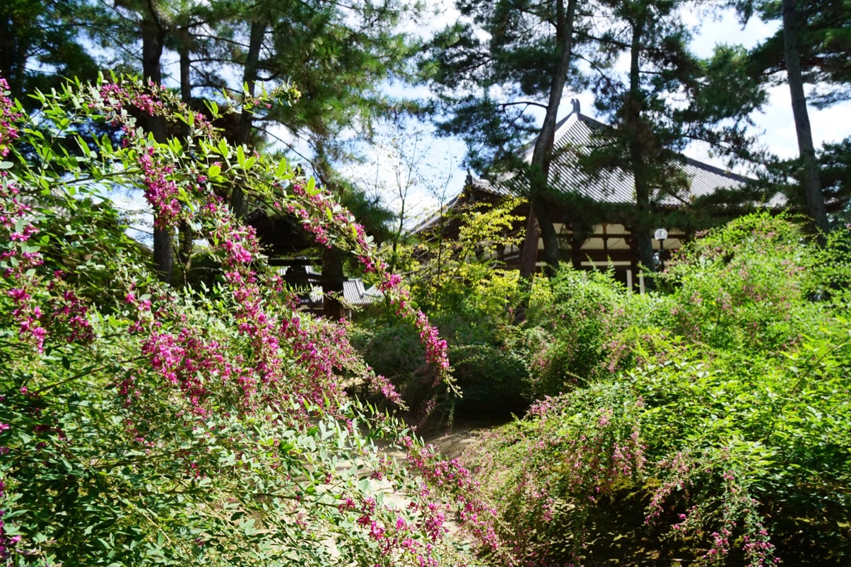 唐招提寺には何回も来ていますが、萩がこんなに多いと知らなかったです。