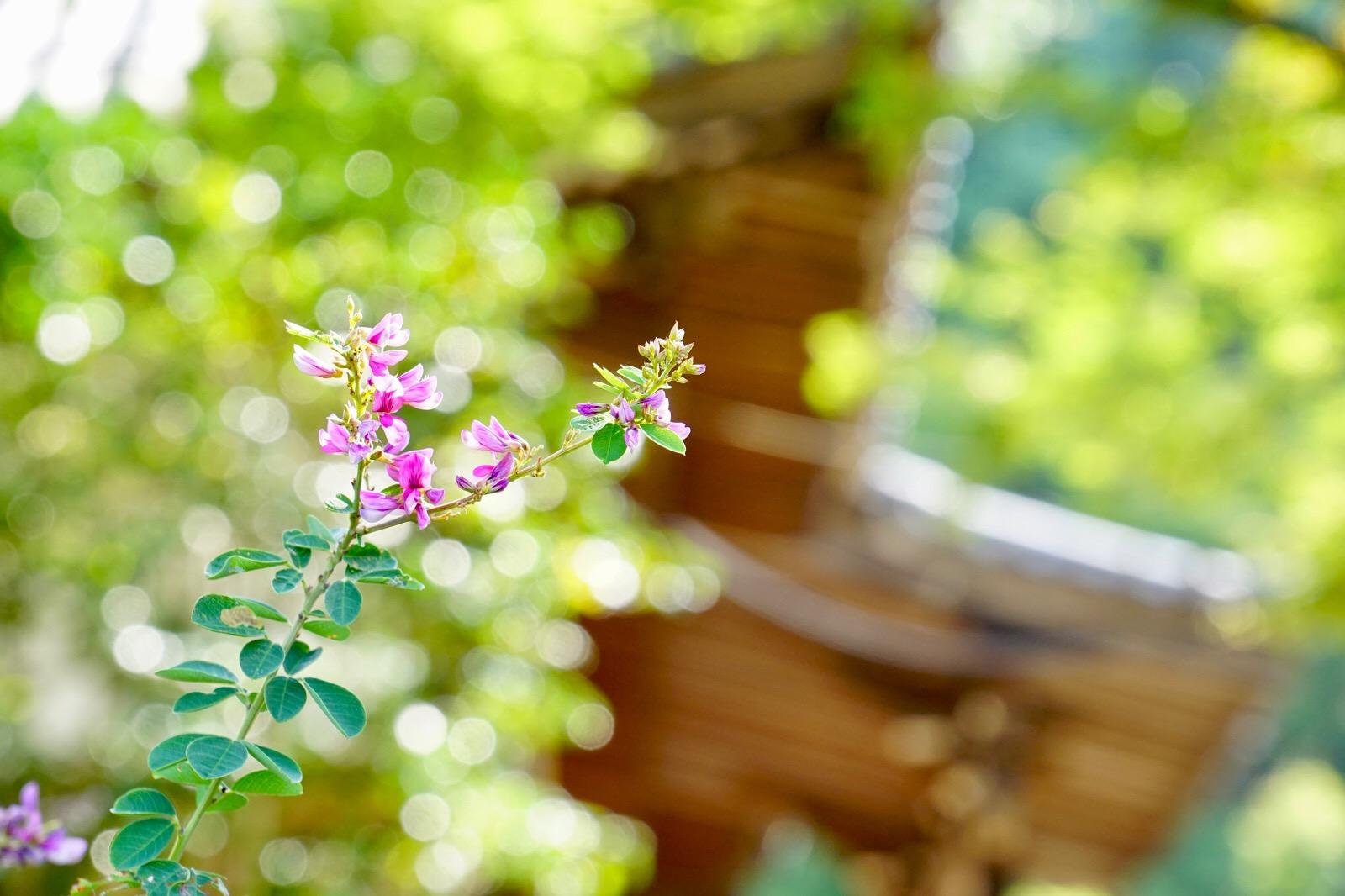 石段の両脇にしだれ咲く姿はとても美しいです。