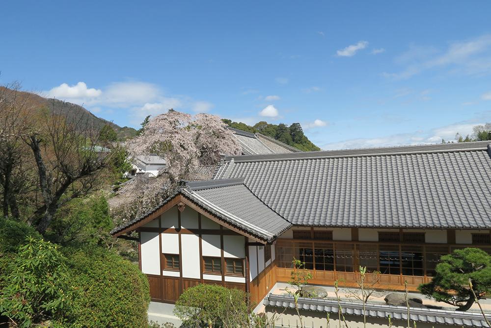 樹齢300年のしだれ桜。屋根より高く成長し、見ごたえのあるきれいな桜でした。