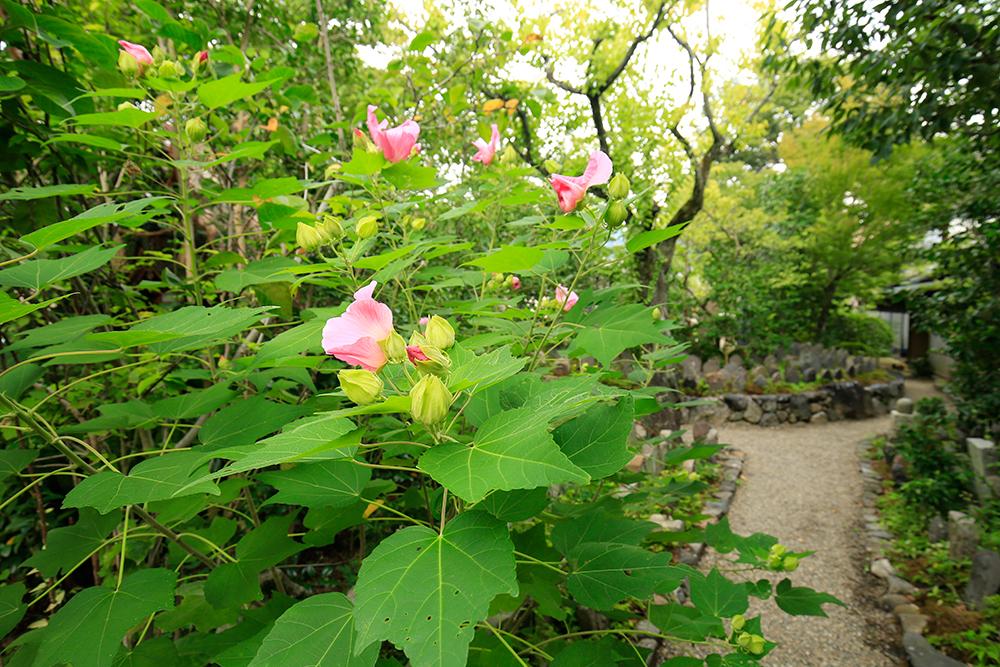 芙蓉の花が咲いていました。