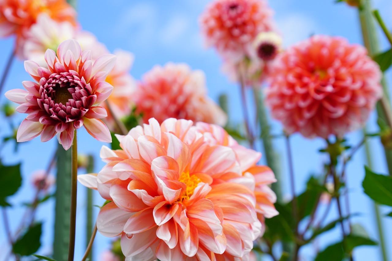 ダリアの花です。豪華です。