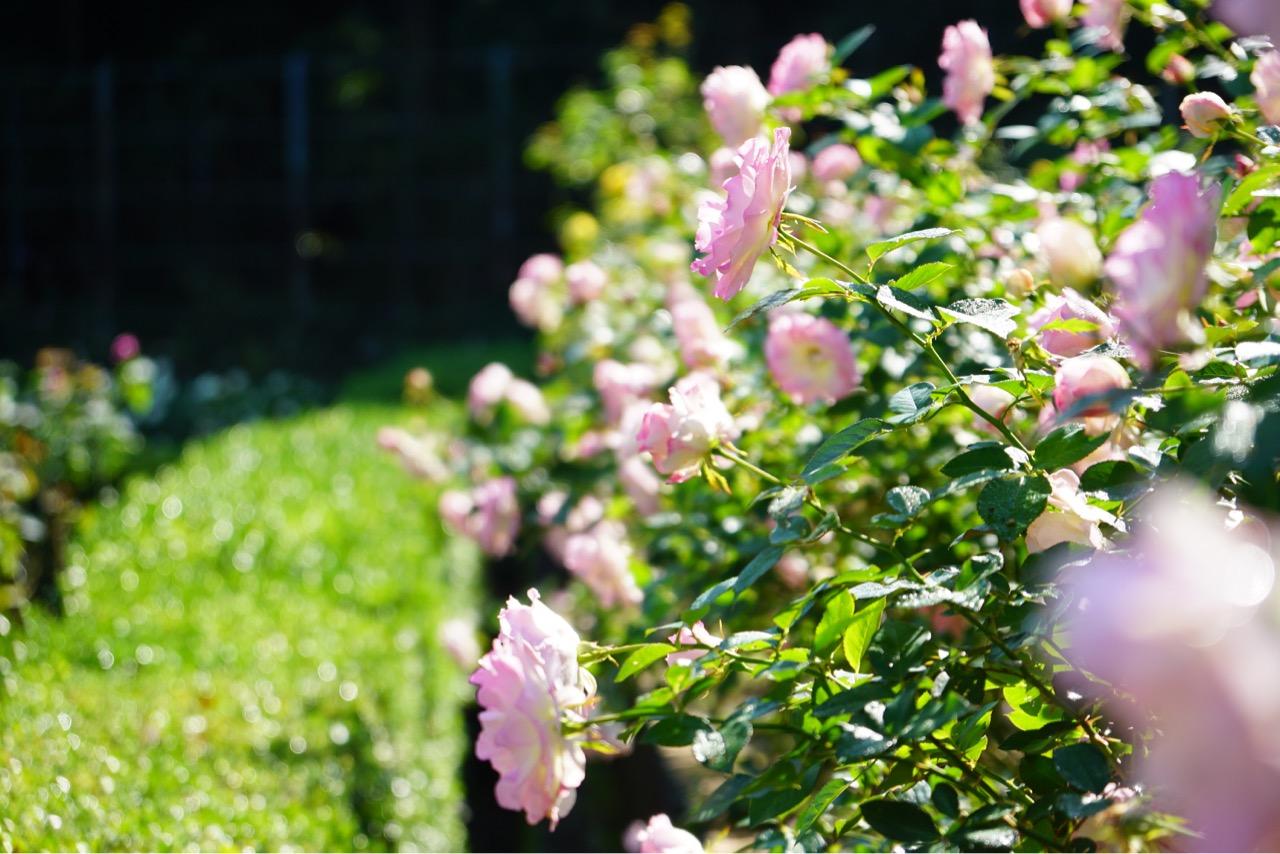新芽も鮮やかで薔薇がよく映えます。
