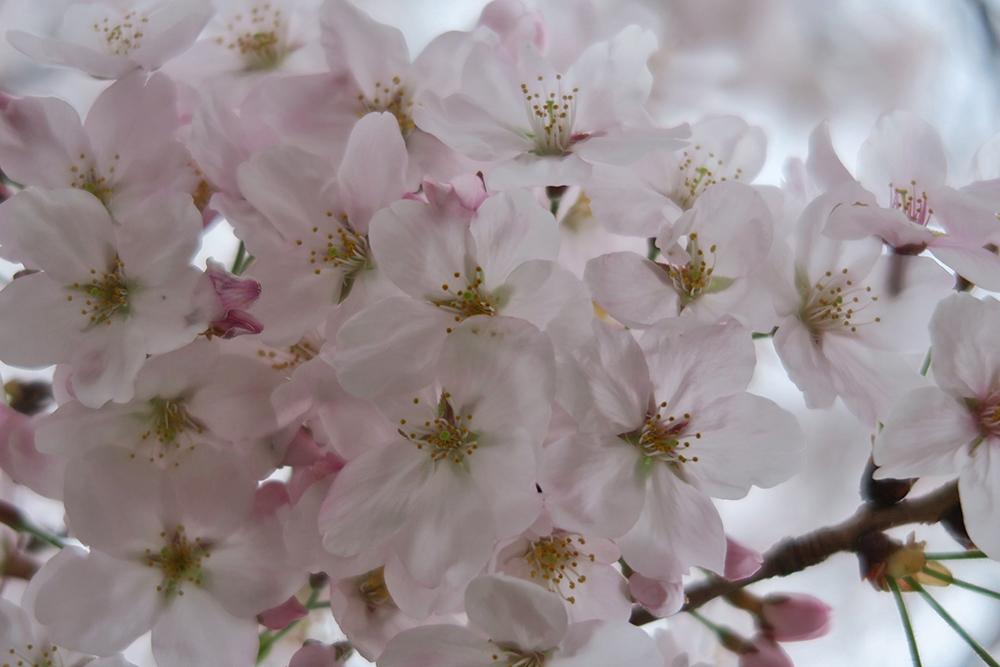 咲き始めなので、花がきれいです。