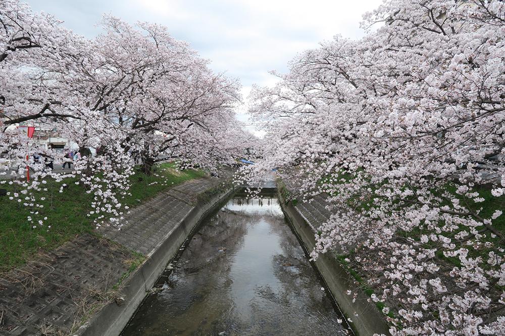 約2.5kmも桜のトンネルが続きます!