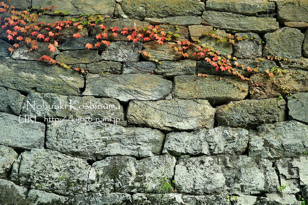 石垣のツタの紅葉がみごとでした。