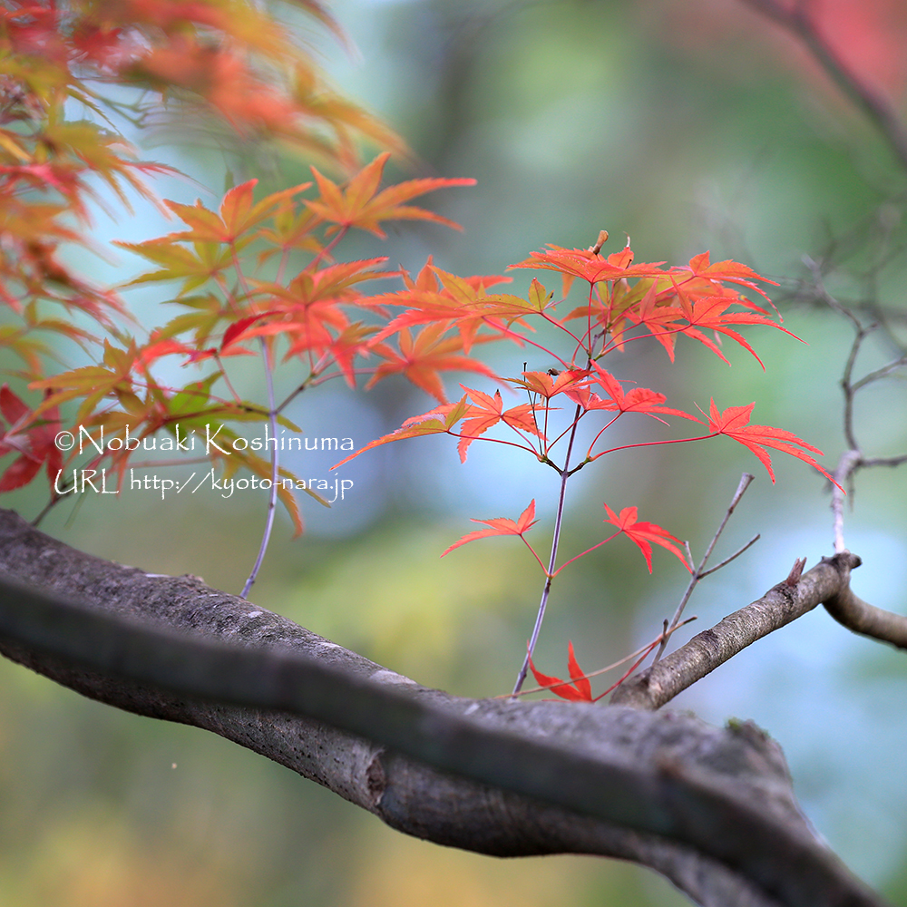 奥千本の紅葉はこれから。