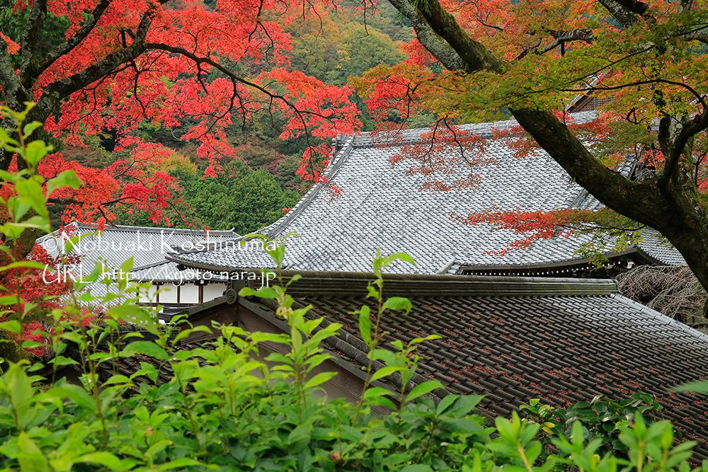 つりがね堂から本堂を撮影。紅葉は逆光で撮るときれいですね。